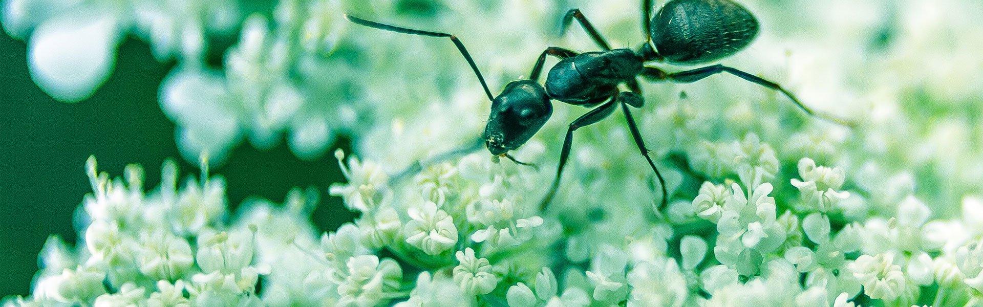 formiche in tenda